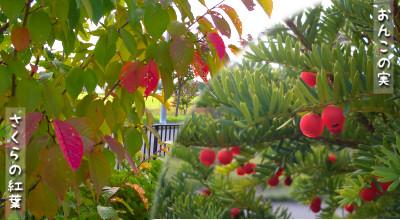 10/1:桜の紅葉&おんこの実