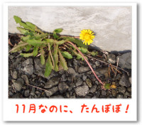11/06:11月のたんぽぽ