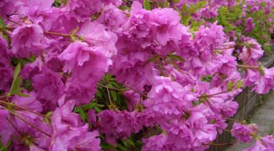 6/4:北見市中ノ島2丁目の南大通りに咲くツツジ