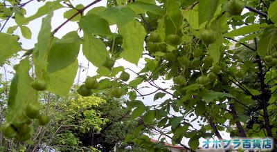 8/4:オホブラ百貨店:小町泉通り