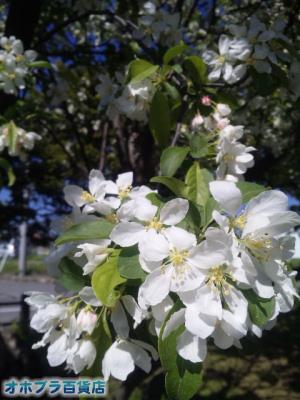 6/7:オホブラ百貨店・北見市/エゾノコリンゴの花