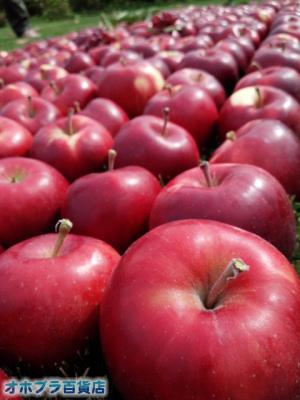 オホブラ百貨店:篠根果樹園でリンゴ狩り