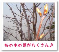 4/22:桜の木の芽がたくさん♪
