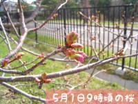 オホブラ百貨店:5/1の桜