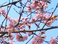 オホブラ百貨店:5/2の桜