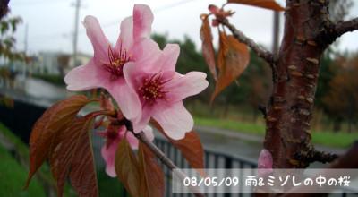 5/9:雨&ミゾレの中の桜