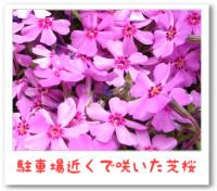 5/15:芝桜