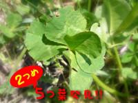 5/16:2つめの五つ葉クローバー発見