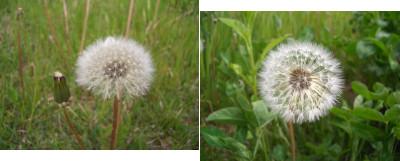 5/27:たんぽぽの綿毛