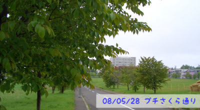 5/28:北見工業大学そばのプチ桜通り