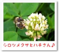 7/15:シロツメクサとハチさん