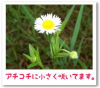 7/24:駐車場周りに白い花、雑草?