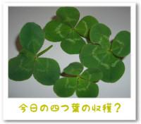 7/25:四つ葉のクローバー