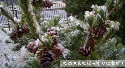 11/18:松の木と松ぼっくりに雪