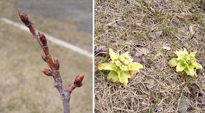 04/09:オホブラ百貨店の事務所の駐車場のふきのとうと桜の木の芽