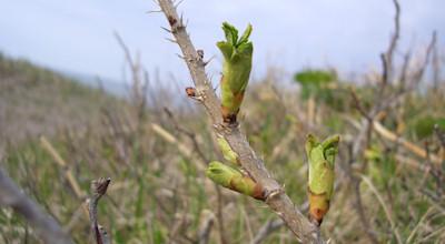 05/08:斜里町の浜辺にはハマナスの芽