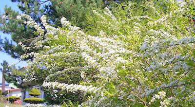 05/19:オホブラ百貨店の事務所近くの花など:雪柳