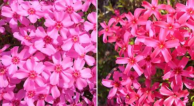 05/19:オホブラ百貨店の事務所近くの花など:芝桜