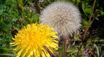 05/19:オホブラ百貨店の事務所近くの花など:たんぽぽ