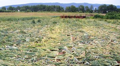 08/04:たまねぎ畑