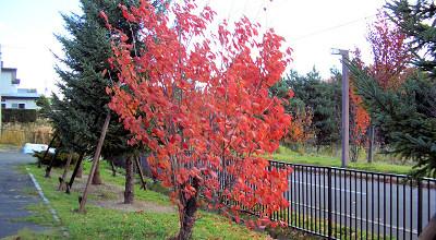 10/22:オホブラ百貨店の駐車場の桜の木