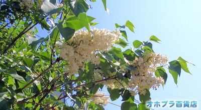 6/18:オホブラ百貨店:南仲町の白いライラック