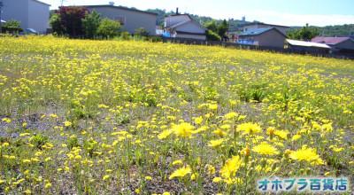 6/25:オホブラ百貨店:北見市南町の黄色い花