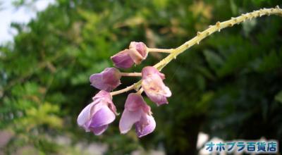 8/25:オホブラ百貨店:小町泉通りの藤の花