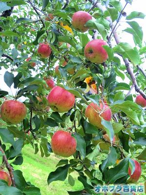 篠根果樹園(北見市昭和)でリンゴ狩り