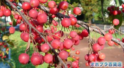 10/05:オホブラ百貨店:エゾノコリンゴ?ズミ?