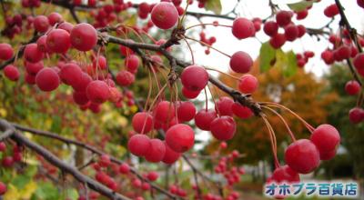 10/13:オホブラ百貨店:エゾノコリンゴ