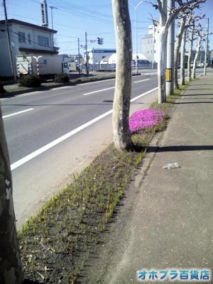 5/12:オホブラ百貨店・南大通りの芝桜と鈴蘭