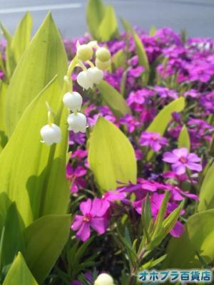 5/26:オホブラ百貨店・南大通り沿いの鈴蘭と芝桜