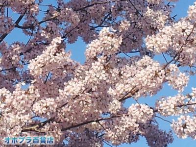 5/8:オホブラ百貨店・2012年の桜