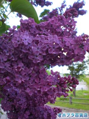 5/29:オホブラ百貨店・今朝の北見市で咲くライラック