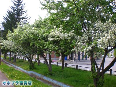 5/29:オホブラ百貨店・エゾノコリンゴ