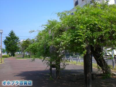 6/6:オホブラ百貨店・小町泉通りの藤棚