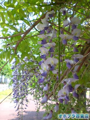 6/6:オホブラ百貨店・小町泉通りの藤の花