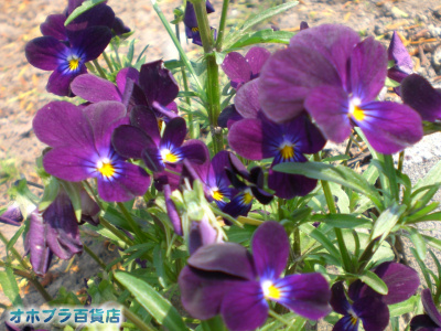 6/29:オホブラ百貨店・今朝の紫スミレ