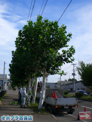 8/31:オホブラ百貨店・今朝の北見市の南大通りの街路樹「プラタナス」