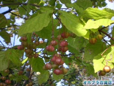 赤い実(1)は「マユミ」ではなく「ツリバナ」が正解のようです!!