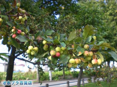 9/18:オホブラ百貨店・今朝の北見市の小町泉通りのヒメノコリンゴ