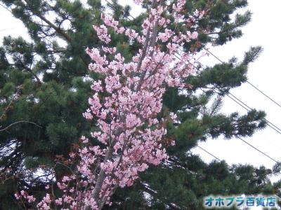 5/20:オホブラ百貨店・北見市の桜