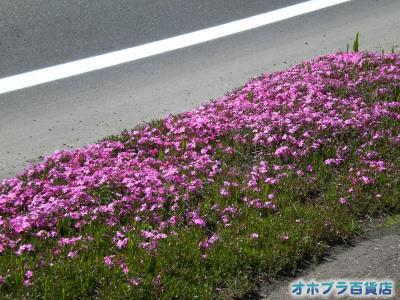 5/21:オホブラ百貨店・今朝の北見市の芝桜
