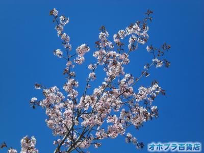5/21:オホブラ百貨店・今朝の北見市の桜