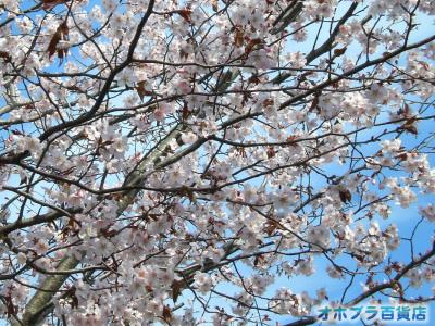 5/22:オホブラ百貨店・今朝の北見市の桜