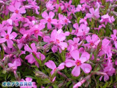 5/23:オホブラ百貨店・今朝の北見市の芝桜