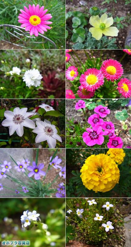 0705:オホブラ百貨店・6月の北見市の花