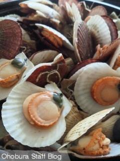 サロマ湖のホタテの稚貝